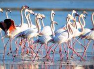 Havalar soğudu, flamingolar Bodrum bölgesine akın etti